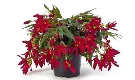 Bestplant Begonia Beauvilia Red 17