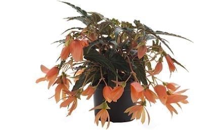 Bestplant Begonia Beauvilia Salmon 17