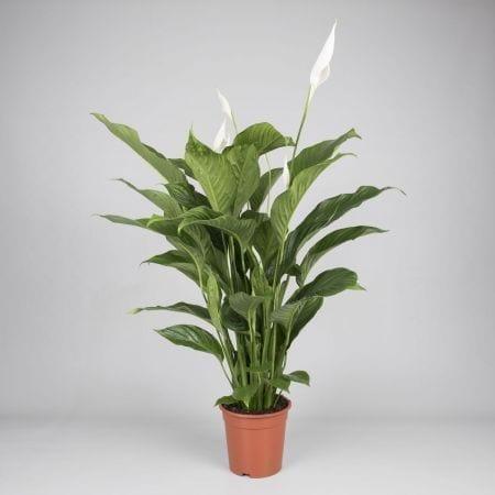 Bestplant - Spathiphyllum Lauretta p19 - 3_450x450