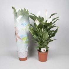 Bestplant - Spathiphyllum Silvana p24 hoes_235x235