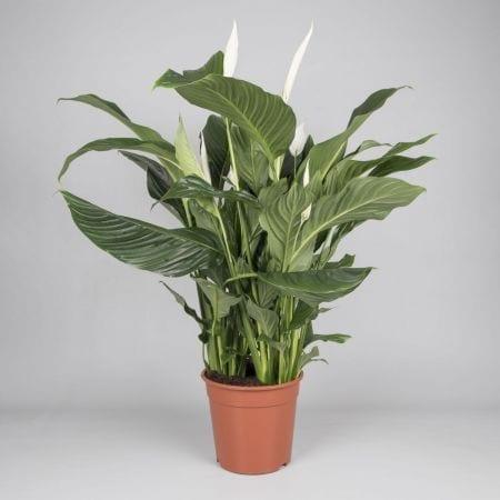 Bestplant - Spathiphyllum Silvana p24_450x450