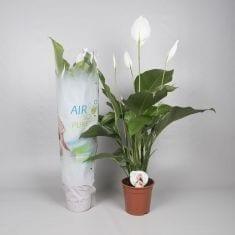 Bestplant - Spathiphyllum Sweet Lauretta p19_235x235
